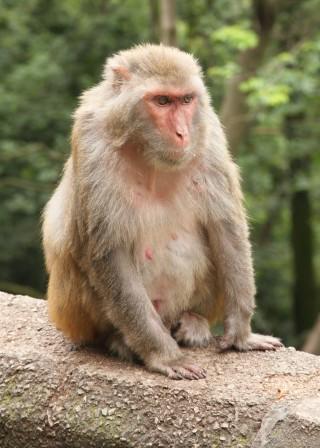 붉은털원숭이는 다른 원숭이에 비해 전반적으로 불그스름한 빛깔일 뿐 아니라 머리와 어깨 언저리에 붉은색 털이 집중된다. - Einar Fredriksen (F) 제공